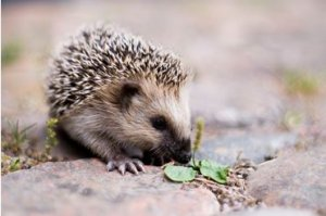 Hedgehog Preservation Group Meeting